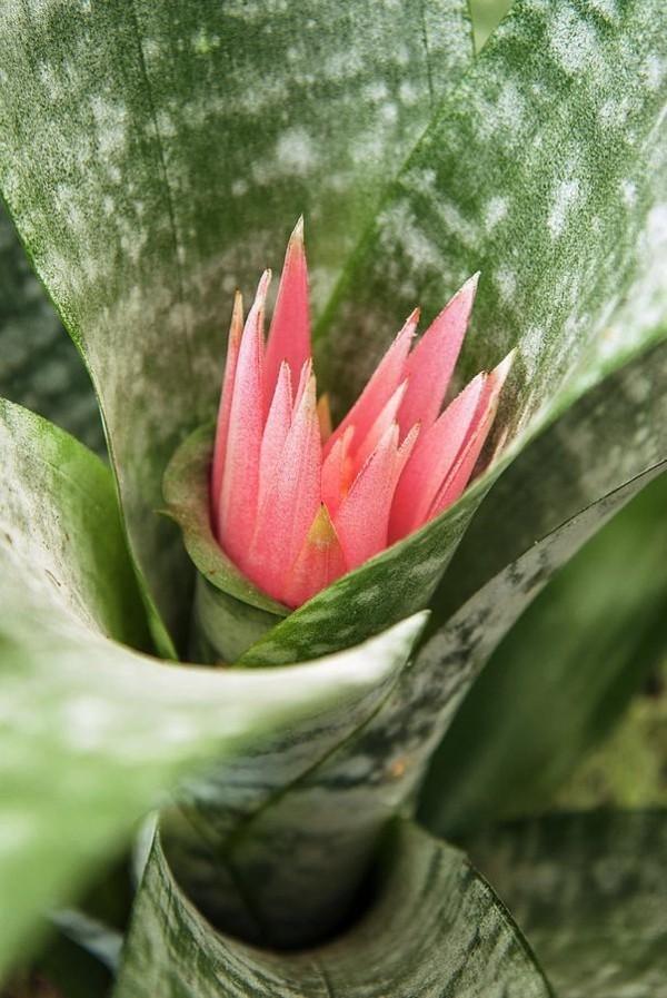 junge pflanze aechmea fasciata