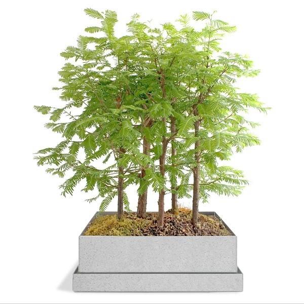 mehrere Bäumchen - Bonsai Baum