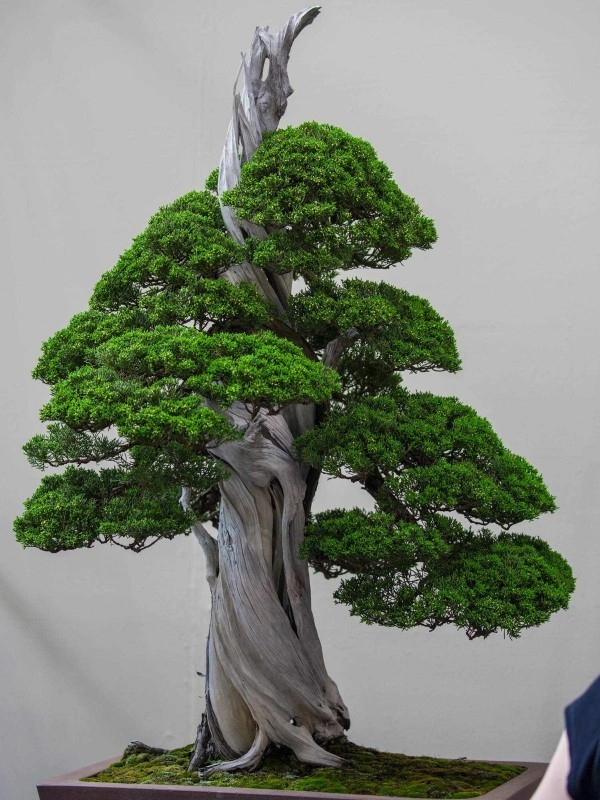 ost design Bonsai Baum