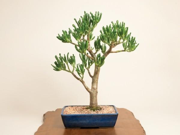 schön geformte Blätter Bonsai Baum
