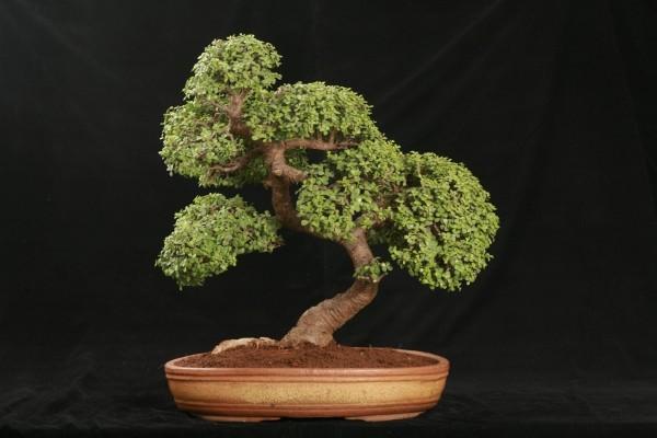 tolle Idee für einen eleganten Bonsai Baum