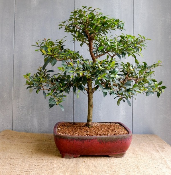 tolle Stufen Bonsai Baum