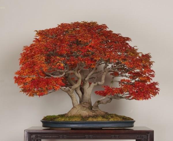 tolle rote Farbe Bonsai Baum