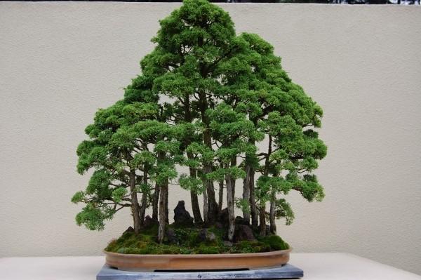wie ein Wald Bonsai Baum