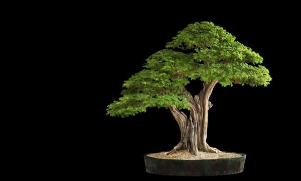 wunderbarer Baum - Bonsai Baum