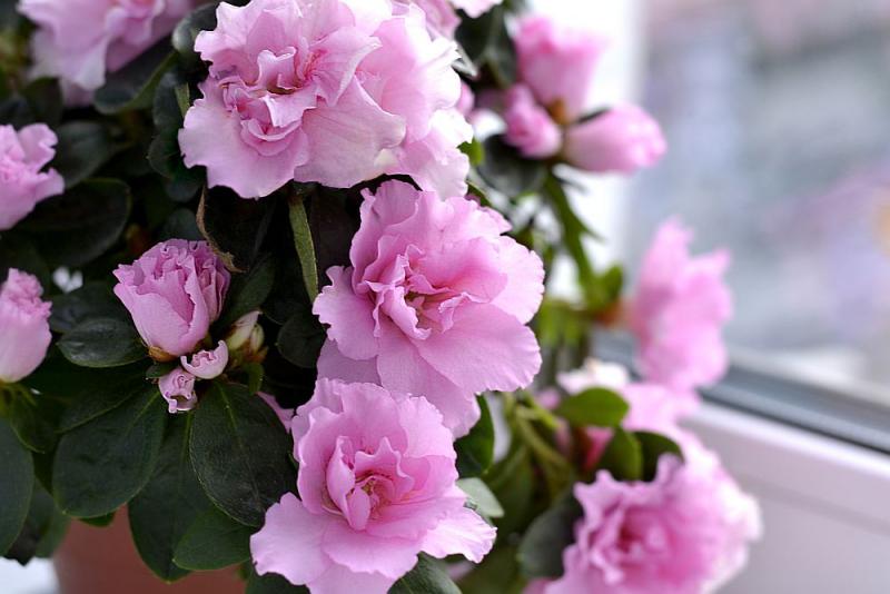 Blumensprache Azalee tiefes Vertrauen zu der beschenkten Person ausdrücken