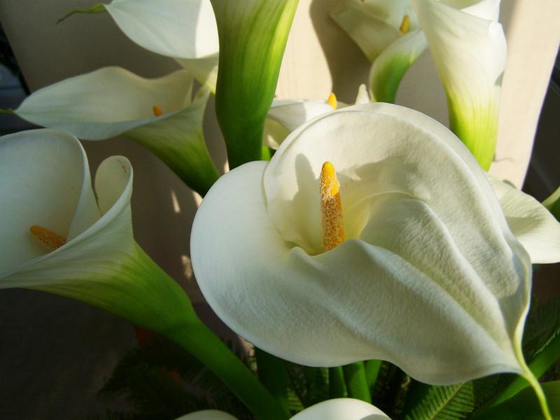 Blumensprache Callas zarte Blüten in weiß tiefe Gefühle ausdrücken