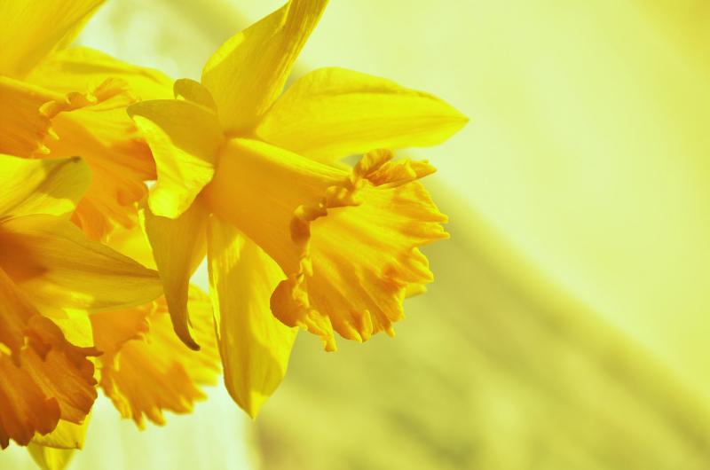 Blumensprache Narzissen eine zwiespältige Bedeutung