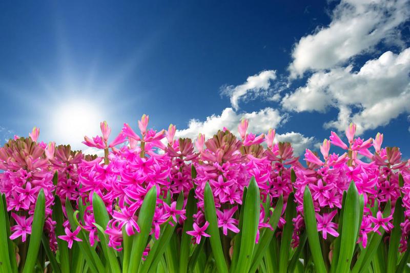 Blumensprache farbenfrohe Hyazinthen Symbol für Erneuerung im Frühling