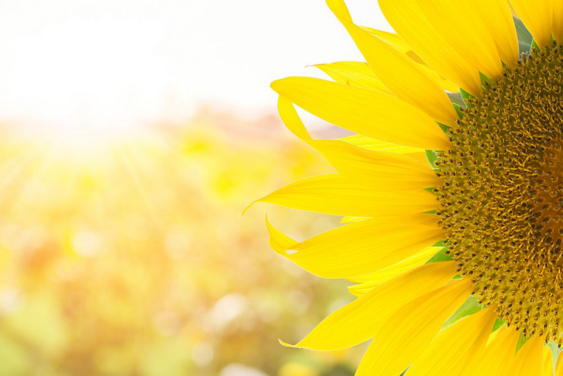 Blumensprache gesättigtes Gelb Sonnenblume Wärme symbolisieren