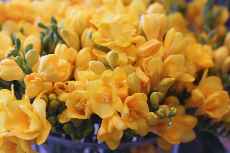 Blumensprache grazile farbenprächtige Freesien Zuneigung zum Ausdruck bringen