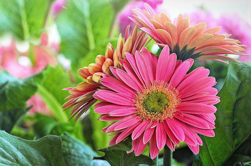 Blumensprache prächtige Gerbera schöne Farbe