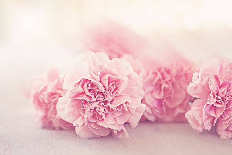 Blumensprache rosa Nelken zarte Liebesgefühle ausdrücken