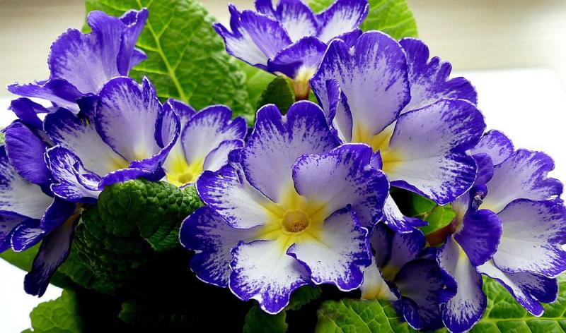 Blumensprache zarte Primeln im Topf schenken Hoffnung Reinheit und Liebe ausdrücken