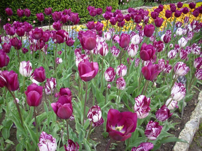 Blumensprachen Tulpen verschiedene Farben je dunkler desto stärker die Gefühle