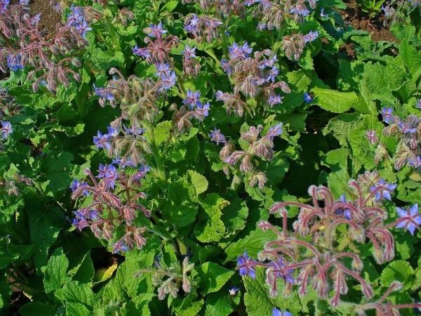 Borago officinalis blaue Farbe Gartentrends