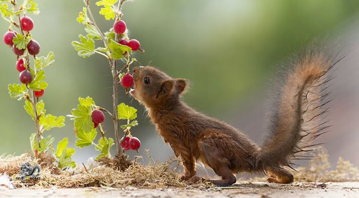 Eichhörnchen fotografieren Geert Weggen Beeren schmecken gut