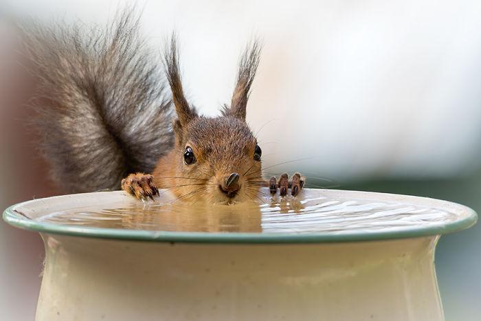 Eichhörnchen fotografieren Geert Weggen Wasser trinken