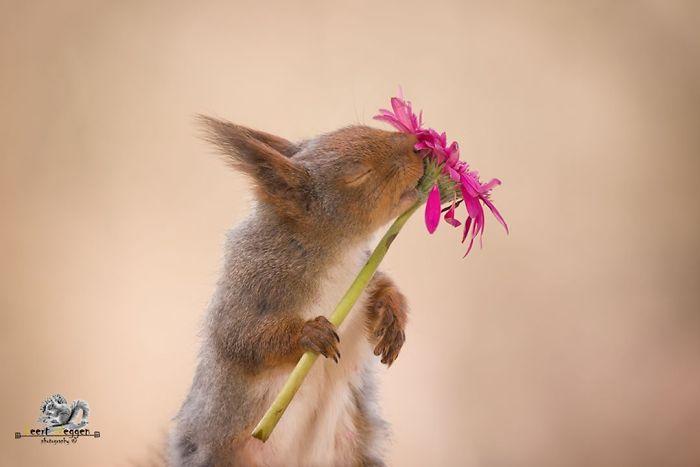 Eichhörnchen fotografieren Geert Weggen an Gerbera nagen