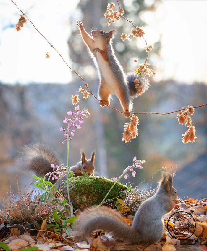 Eichhörnchen fotografieren Geert Weggen die kleinen Nagetiere spielen gern frei