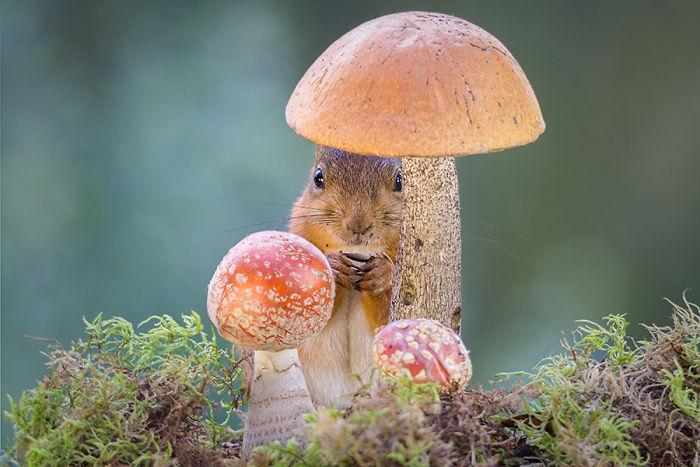 Eichhörnchen fotografieren Geert Weggen einen Unterschlupf zwischen Pilzen finden