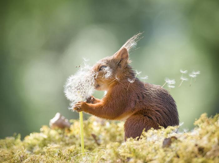 Eichhörnchen fotografieren Geert Weggen etwas Wind mit Pusteblume spielen