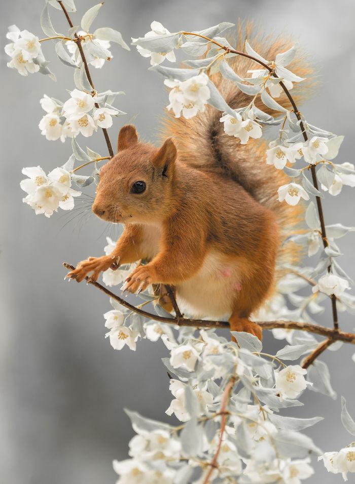 Eichhörnchen fotografieren Geert Weggen im Frühling zwischen blühenden Zweigen spielen