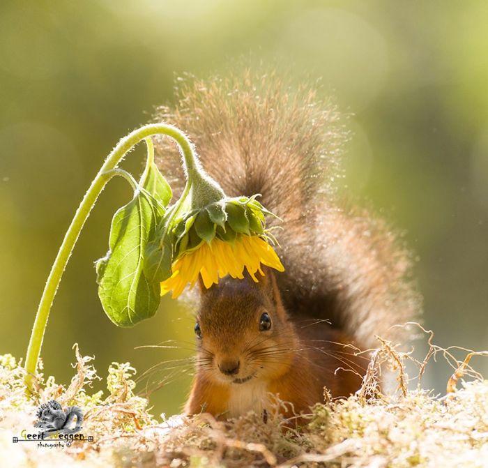 Eichhörnchen fotografieren Geert Weggen im Herbst Sonnenblume schönes Foto