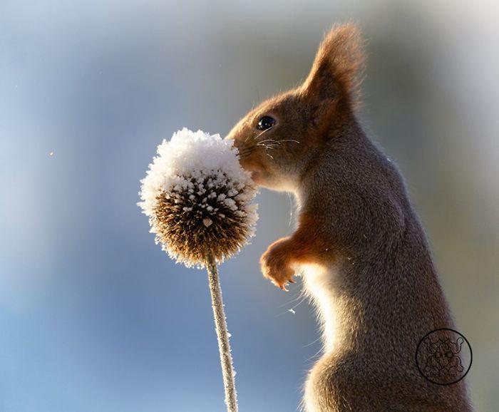 Eichhörnchen fotografieren Geert Weggen im Winter etwas Sonne getrocknete Pflanze