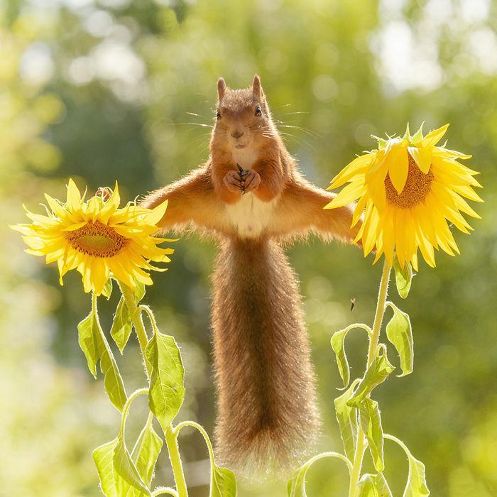 Eichhörnchen fotografieren Geert Weggen mit Sonnenblumen spielen im Sommer