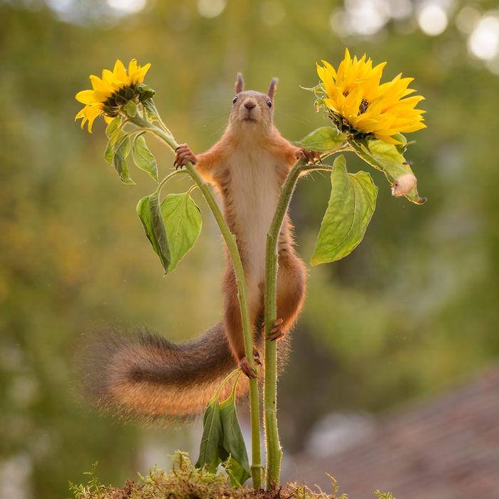 Eichhörnchen fotografieren Geert Weggen mit zwei Sonnenblumen spielen