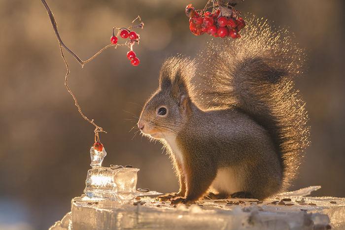 Eichhörnchen fotografieren Geert Weggen rote Beeren im Winter