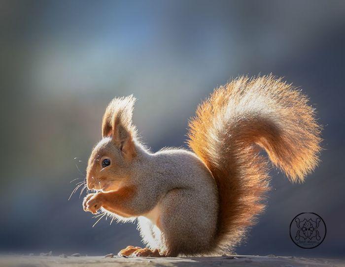 Eichhörnchen fotografieren Geert Weggen typische Körperposition