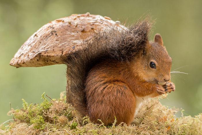 Eichhörnchen fotografieren Geert Weggen unter einem großen Pilz knabbern