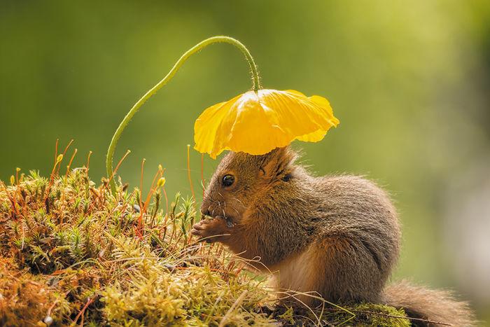 Eichhörnchen fotografieren Geert Weggen unter gelber Mohnblume stehen