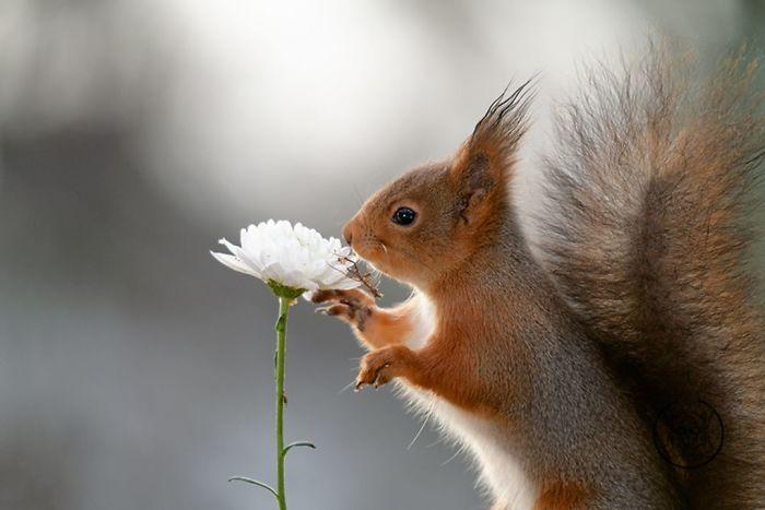 Eichhörnchen fotografieren Geert Weggen weiße Blume Interesse daran zeigen