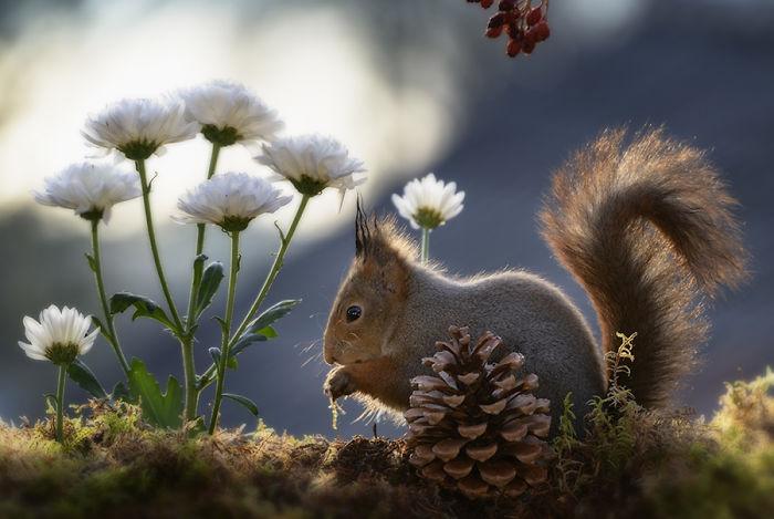 Eichhörnchen fotografieren Geert Weggen weiße Chrysanthemen Tannenzapfen