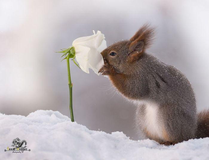 Eichhörnchen fotografieren Geert Weggen weiße Rose im Schnee