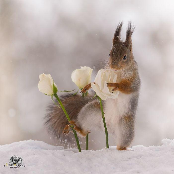 Eichhörnchen fotografieren Geert Weggen weiße Rosen im Schnee