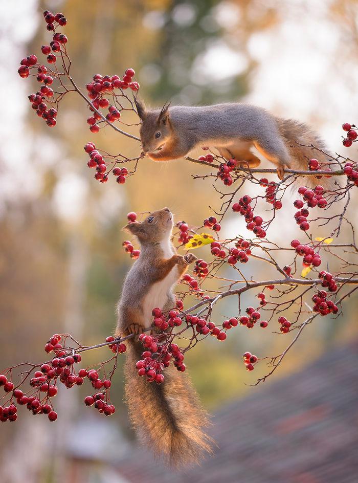 Eichhörnchen fotografieren Geert Weggen zwei kleine Buschschwänzer Hagebuttenzweige