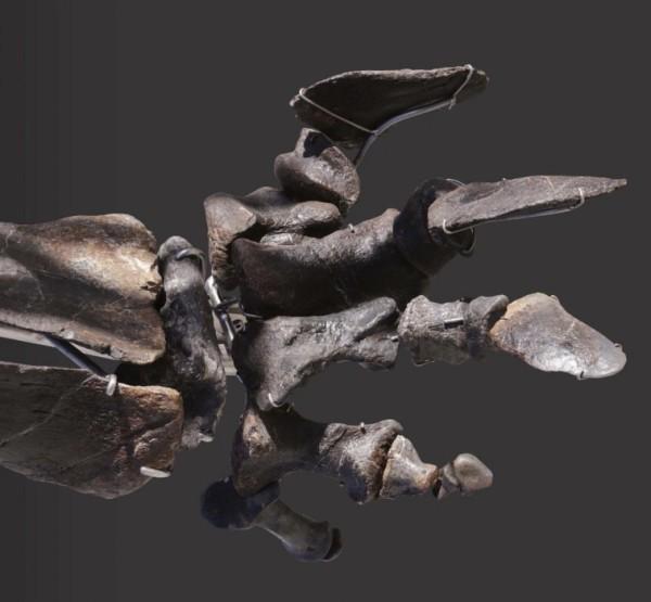 Einzigartiges Diplodocus Skelett mit Haut wird versteigert fuß knochen fossil