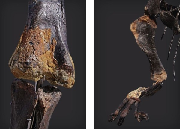 Einzigartiges Diplodocus Skelett mit Haut wird versteigert knie und hand mit haut dran