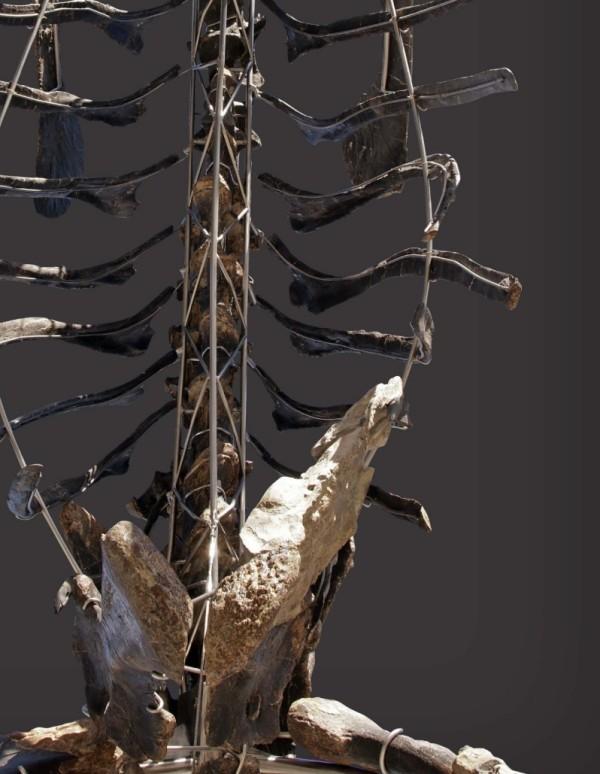 Einzigartiges Diplodocus Skelett mit Haut wird versteigert rippen und wirbelsäule fossil