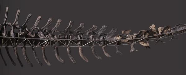 Einzigartiges Diplodocus Skelett mit Haut wird versteigert schwanz vollständig wirbelknochen