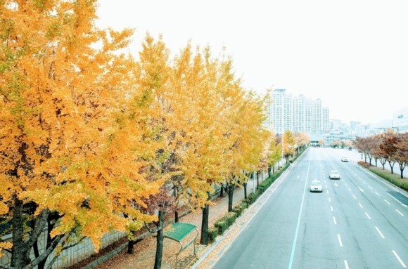 Ginkgo Baum Ginkgo Bäume Straßenverkehr