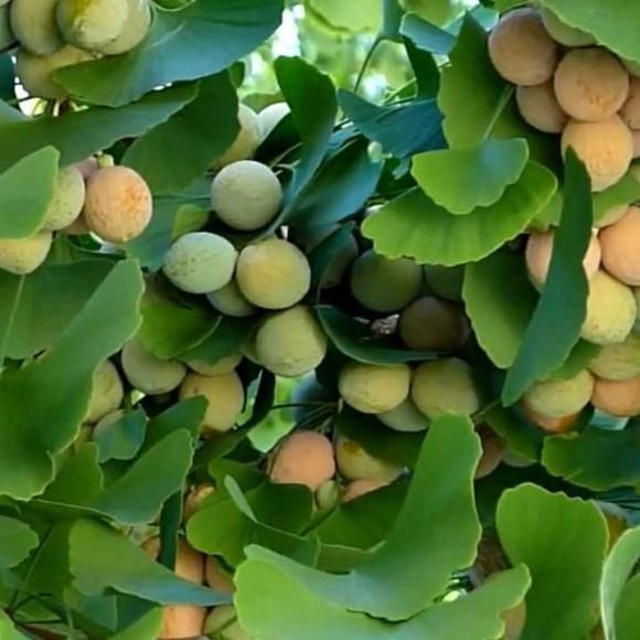 Ginkgo Baum Ginkgo Blätter Ginkgo Früchte und Samen