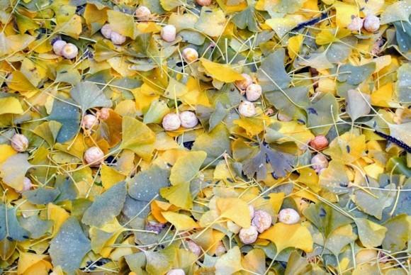 Ginkgo Baum Ginkgo Blätter Ginkgo Früchte