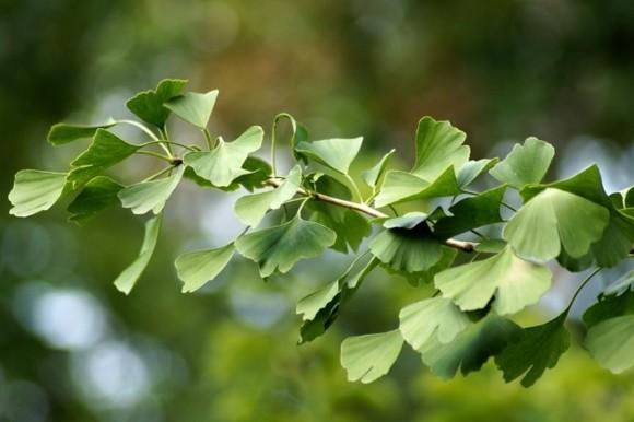 Ginkgo Baum Ginkgo Blätter grüner Zweig