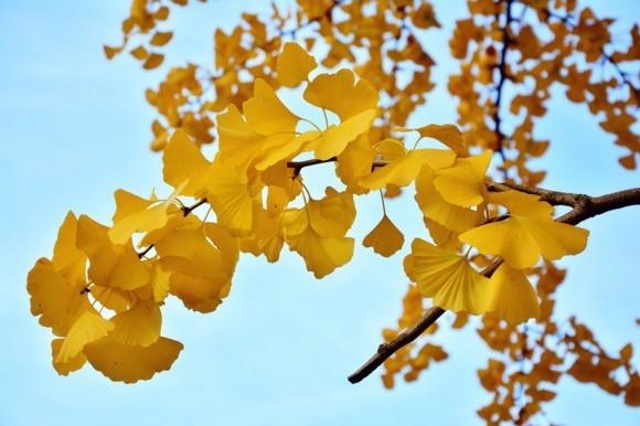 Ginkgo Baum Ginkgo Blätter schöne Naturbilder