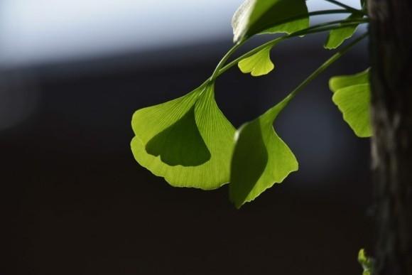 Ginkgo Baum Ginkgo Blätter